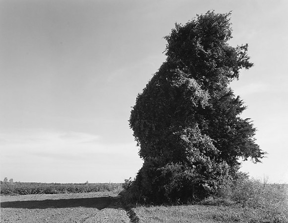 Kudzu On Tree - St Joseph, LA  1997